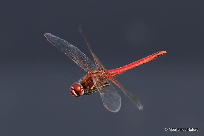 Red-veined Darter (Sympetrum fonscolombii) M