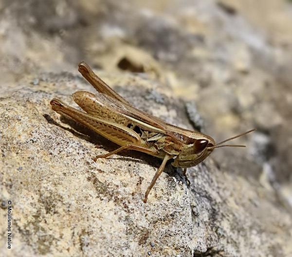 Elegant Straw Grasshopper (Euchorthippus elegantulus) F