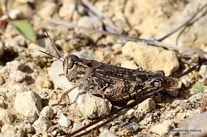 Italian Locust (Calliptamus i. italicus)