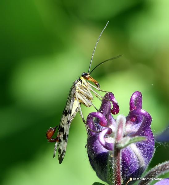 Scorpion Fly (Panorpa meridionalis) M