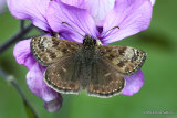 Dingy Skipper (Erynnis tages) F