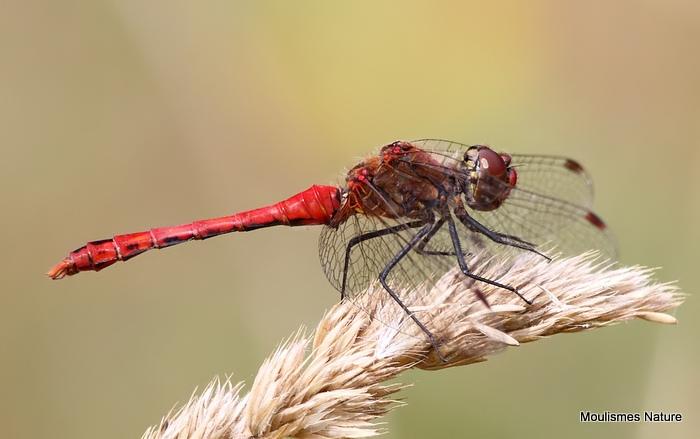 Ruddy Darter (Sympetrum sanguineum) M, Sympetrum rouge sang