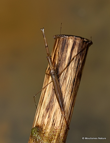 Water Stick Insect (Ranatra linearis)