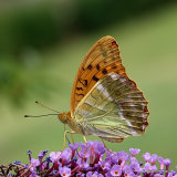 Silver-washed Fritillary (Argynnis paphia) M