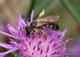 Giant Furrow Bee (Halictus quadricinctus)