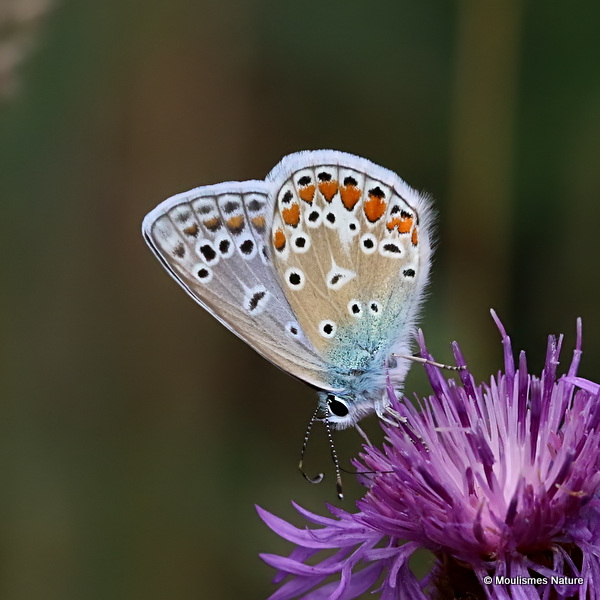 Common Blue (Polyommatus icarus) M