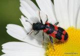 Soldier Beetle sp. (Trichodes apiarius)