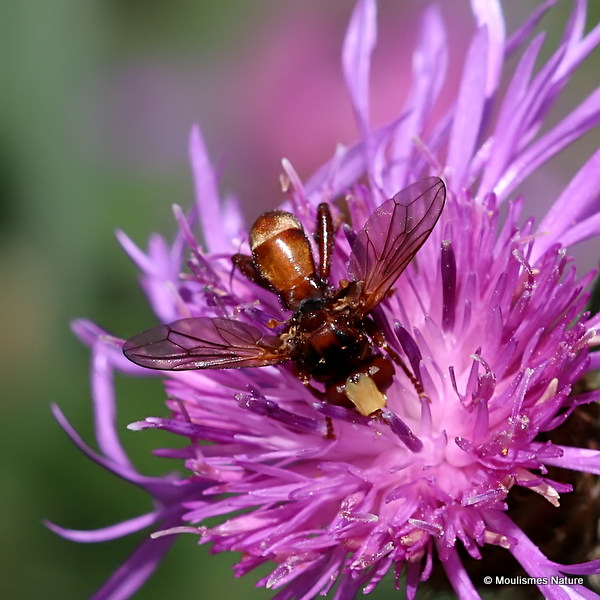 Thick-headed fly sp. Sicus ferrugineus