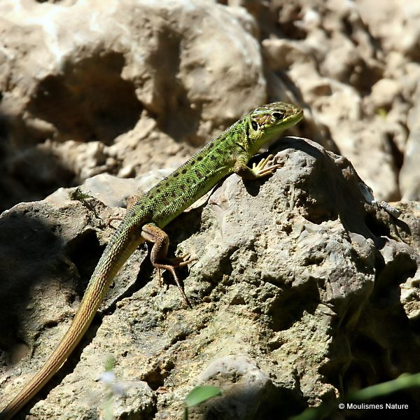 Green Lizard (Lacerta bilineata), F