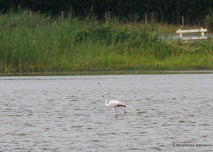 Greater Flamingo (Phoenicopterus roseus) Ad