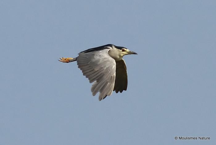 Black-crowned Night Heron (Nycticorax nycticorax) Ad