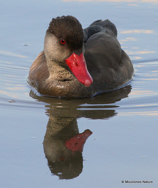 Red-crested Pochard (Netta rufina) M