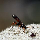 Parasitic wasp sp. Ichneumon sarcitorius F