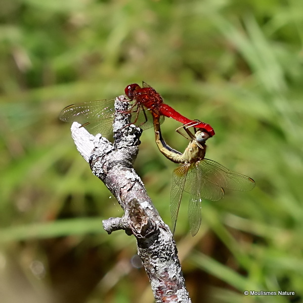 Scarlet Darters (Crocothemis erythraea)