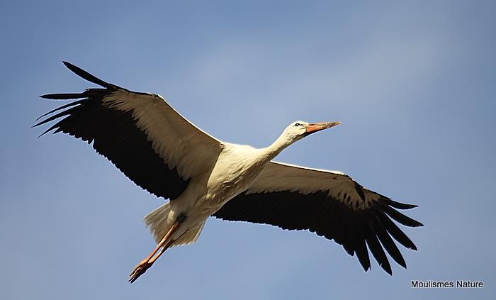 White Stork (Ciconia ciconia) Juv