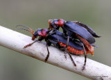 Soldier Beetle sp. (Cantharis fusca)