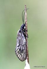Alder Fly (Sialis lutaria)