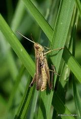 Elegant Straw Grasshopper (Euchorthippus elegantulus) M