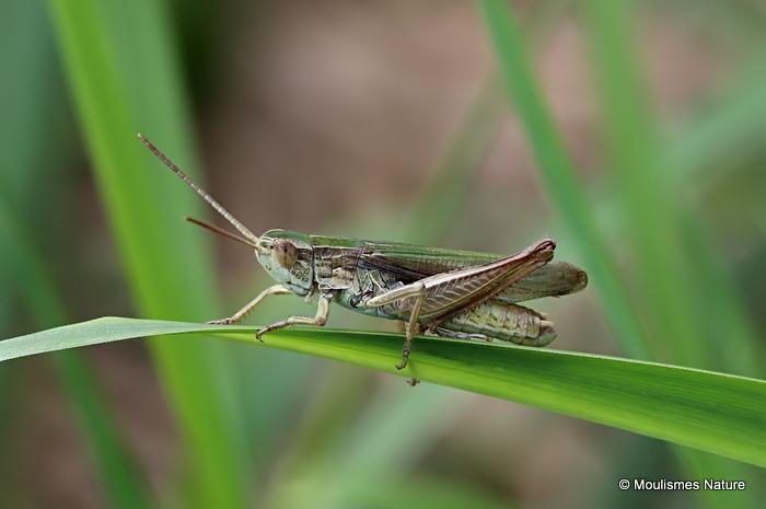 Lesser Marsh Grasshopper (Chorthippus albomarginatus albomarginatus) M