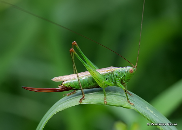 Long-winged Conehead (Conocephalus fuscus) F