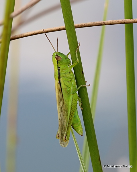 Leek Grasshopper (Mecostethus p. parapleurus) F
