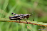 Large Marsh Grasshopper (Stethophyma grossum) nymph
