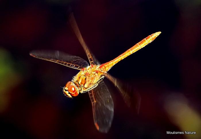 Vagrant Darter (Sympetrum vulgatum) M