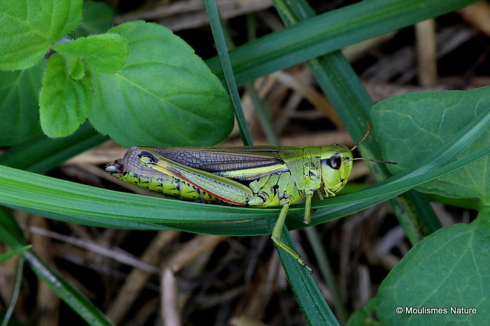 Large Marsh Grasshopper (Stethophyma grossum) F