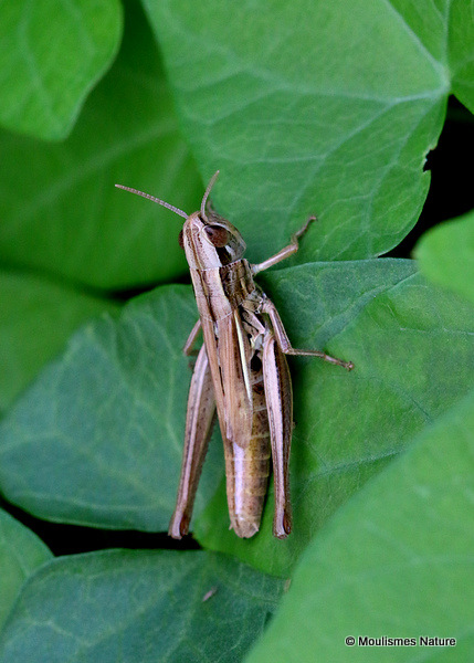 Common Straw Grasshopper (Euchorthippus declivus) F