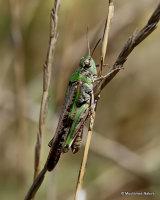 Long-winged Grasshopper (Aiolopus thalassinus thalassinus) M
