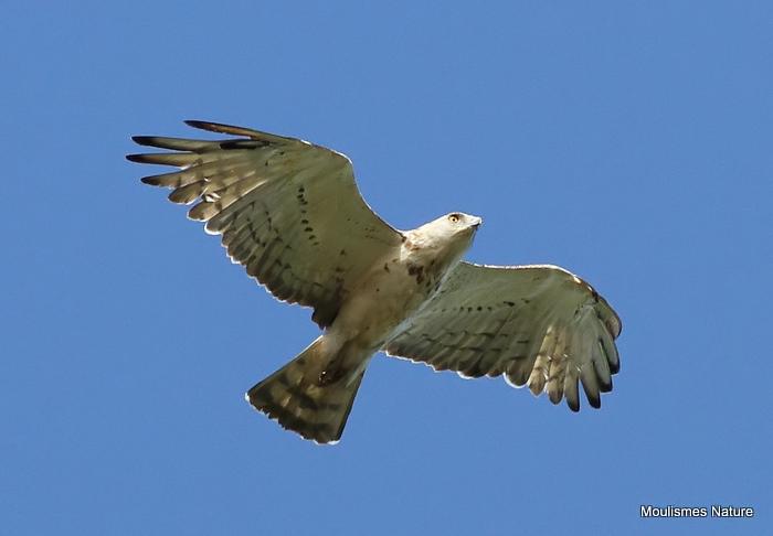 Short-toed Eagle (Circaetus gallicus) Imm