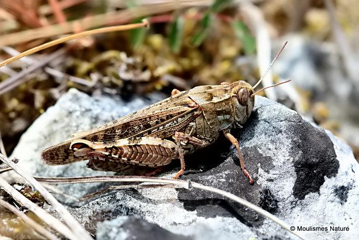 Italian Locust (Calliptamus i. italicus) F