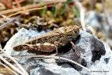 Italian Locust (Calliptamus italicus italicus) F