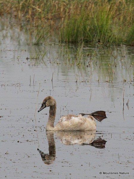 Mute Swan (Cygnus olor) Juv