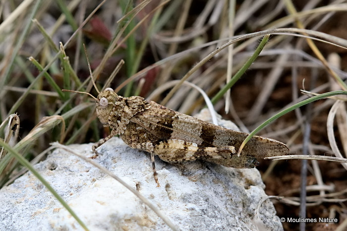 Blue-winged Grasshopper (Oedipoda c. caerulescens) F
