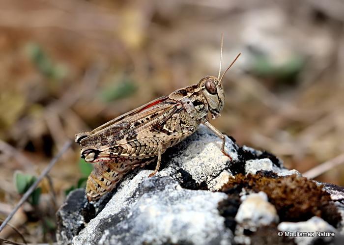 Barbarian Grasshopper (Calliptamus b. barbarus) F