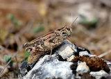 Barbarian Grasshopper (Calliptamus barbarus barbarus) F