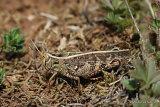 Italian Locust (Calliptamus italicus italicus) M