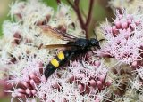 Hairy Flower Wasp (Scolia hirta)