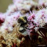Garden bumblebee (Bombus hortorum) M