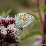 Chalk-hill Blue (Lysandra coridon) M