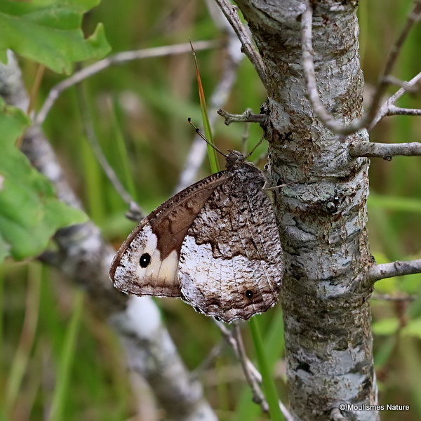 Woodland Grayling (Hipparchia fagi)