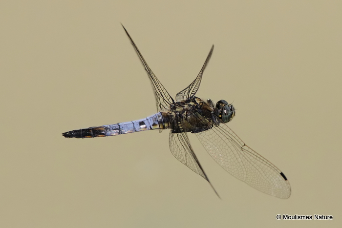 Black-tailed Skimmer (Orthetrum cancellatum) M