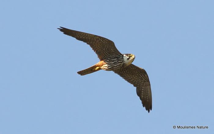 Falco subbuteo ad