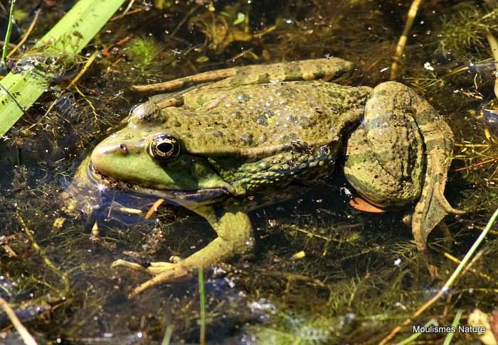 Marsh Frog (Rana ridibundus)