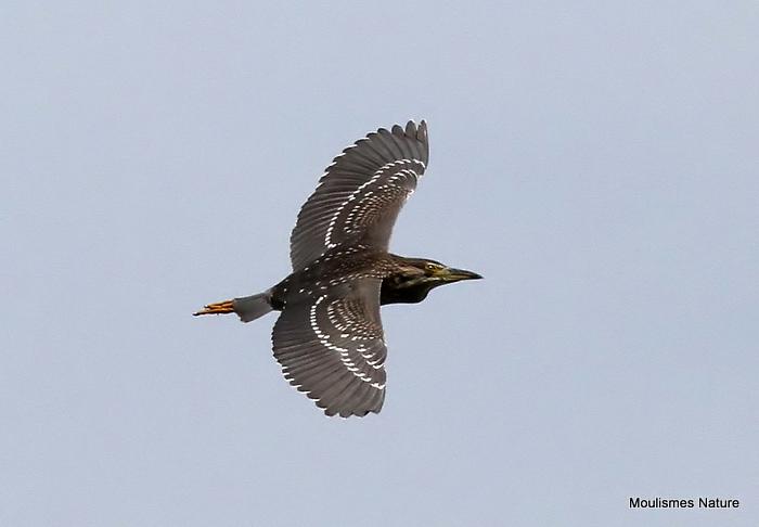 Black-crowned Night Heron (Nycticorax nycticorax) Juv