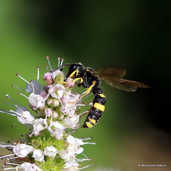 Cerceris rybyensis (Ornate-tailed Digger Wasp)