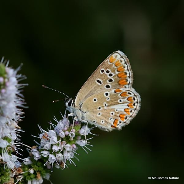 Brown Argus (Aricia agestis)