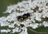 Chalcid wasp sp. Brachymeria tibialis