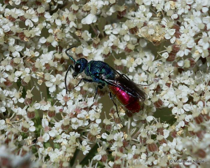 Chrysis (Ruby-tailed wasp) sp.
